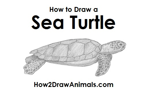 Draw Sea Turtle