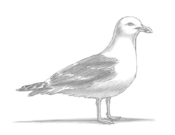 How to Draw a Seagull