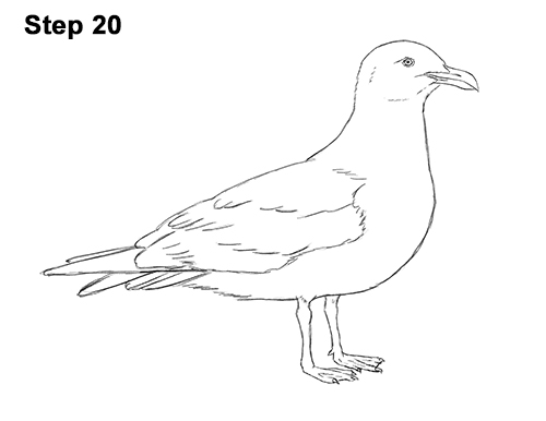 how to draw a seagull gull bird standing 20