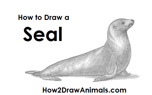 How to Draw a Seal Pup, Seal Pup, Step by Step, Sea animals ...