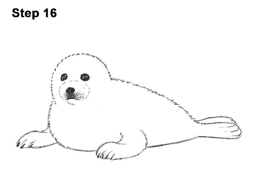 How to Draw a Fluffy Cute Baby Harp Seal Pup 16