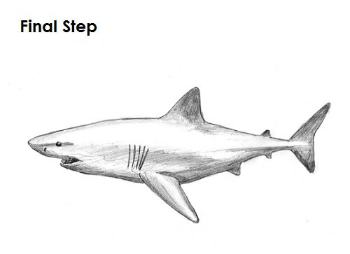Draw Great White Shark Final