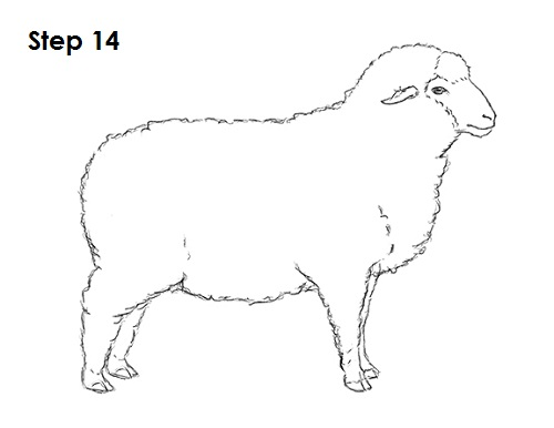Draw Sheep 14