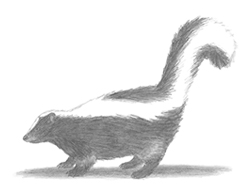 How to Draw a Striped Skunk