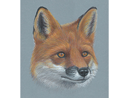 Red Fox Special Portrait Head