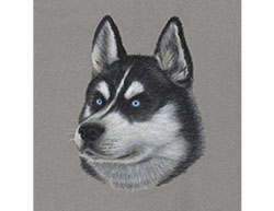 Husky Dog Portrait Head Special Drawing