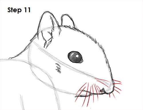 Draw Squirrel 11