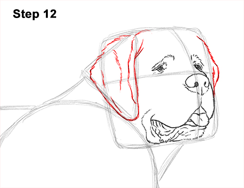 Draw St. Bernard Dog 12