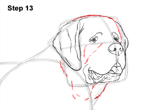 Draw St. Bernard Dog 13