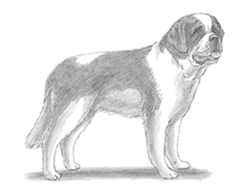 How to Draw a St. Bernard