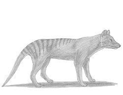 How to Draw a Tasmanian Tiger