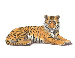 How to Draw a Tiger Lying Laying Down Color