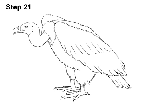 Vulture Line Drawing How to Draw a Vulture