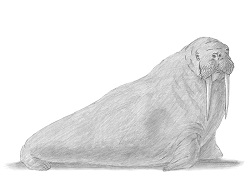 How to Draw a Walrus