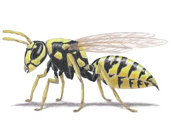 How to Draw a Wasp Yellow-Jacket Hornet