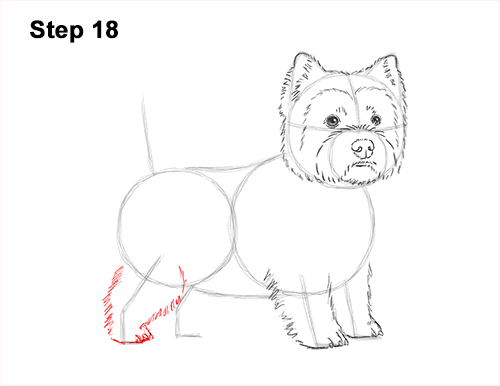 How to Draw a West Highland White Terrier Puppy Dog 18