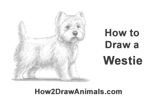 How to Draw a West Highland White Terrier Puppy Dog