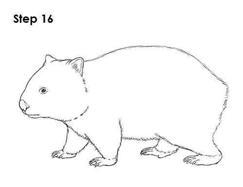 Line Drawings Of Australian Animals : How to draw a wombat