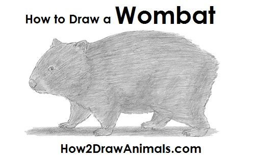 Wombat Drawing How to Draw a Wombat