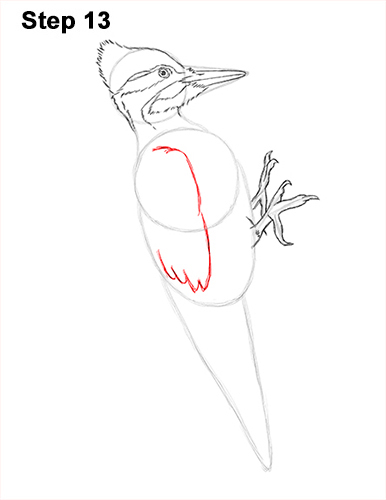 Draw Pileated Woodpecker 13