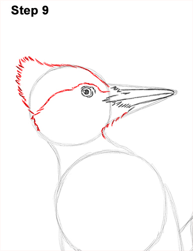 Draw Pileated Woodpecker 9