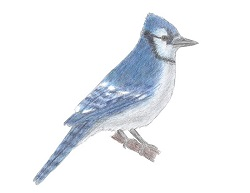 How to Draw a Blue Jay Bird