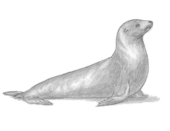 How to Draw a California Sea Lion Seal