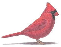 How to draw a Red Cardinal Bird