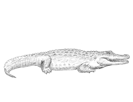 How to Draw a Crocodile