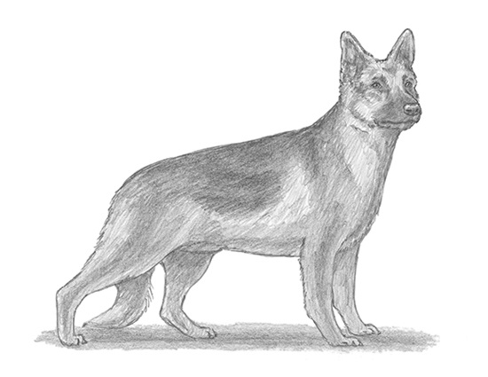 How to Draw a German Shepherd Dog