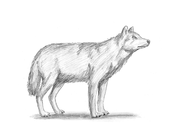 How to Draw a Gray Wolf