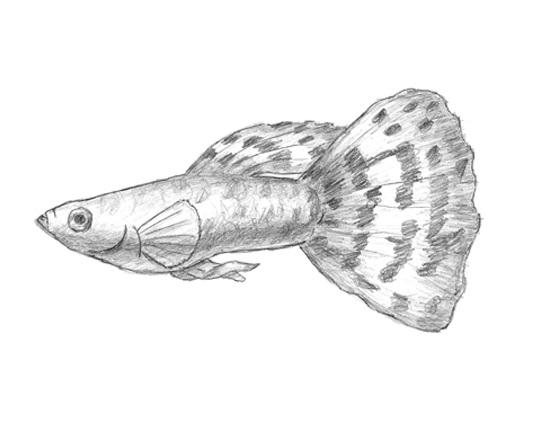 How to Draw a Guppy Fish