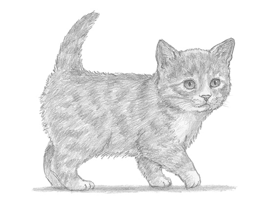 How to draw a cat tabby kitten