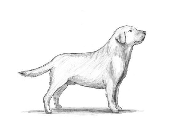 How to Draw a Labrador Dog
