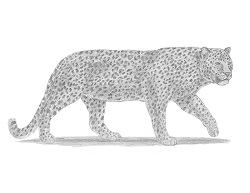 How to Draw a Leopard