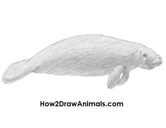 how to draw a manatee youtube
