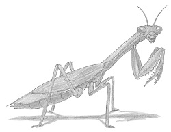 How to Draw a Praying Mantis