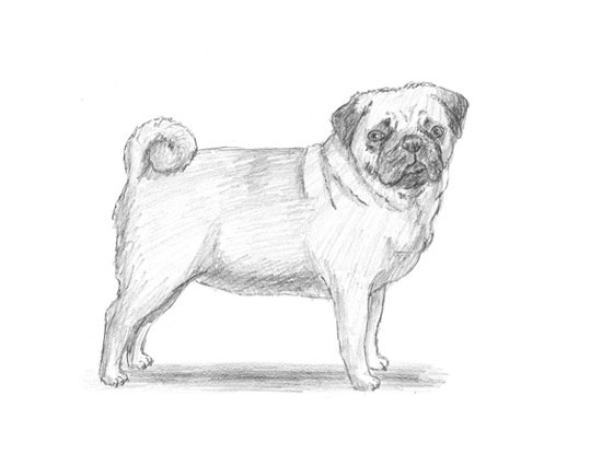 How to Draw a Dog (Pug)