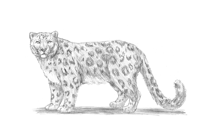 Snow leopard drawing - photo#1