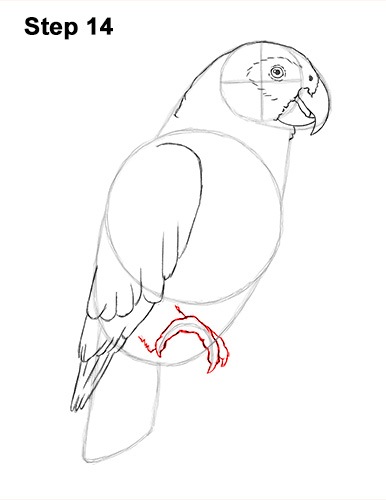 How to Draw African Congo Grey Parrot Bird 14