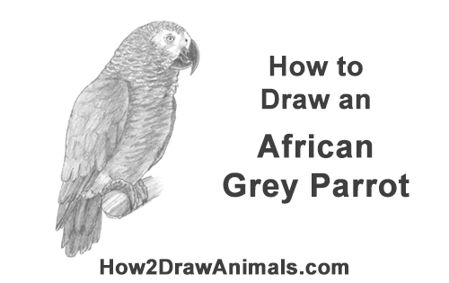 How to Draw African Congo Grey Parrot Bird