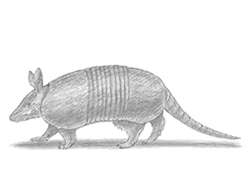 How to draw a Nine-Banded Armadillo