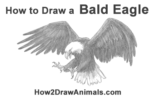 How to Draw Bald Eagle Hunting Swooping Wings