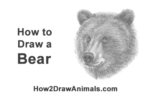 How to Draw a Grizzly Kodiak Brown Bear Head Portrait