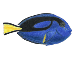 How to Draw a Regal Blue Tang Fish Dory