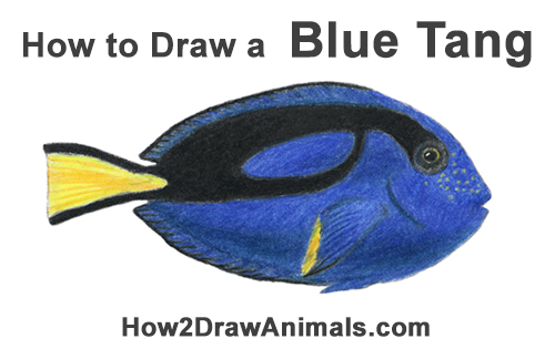 How to Draw a Regal Blue Tang Fish
