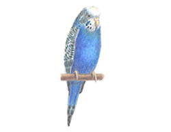 How to Draw a Blue Budgie Budgerigar Parakeet