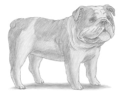 How to Draw a Bulldog Dog