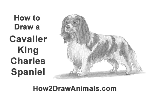 How to Draw a Cavalier King Charles Spaniel Puppy Dog
