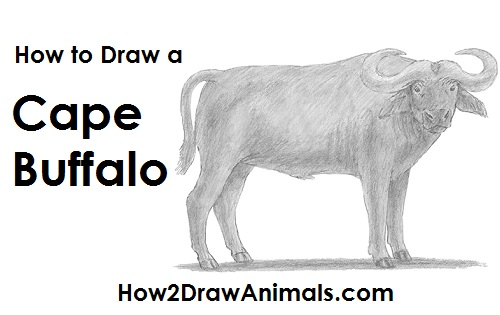 Draw an African Cape Buffalo